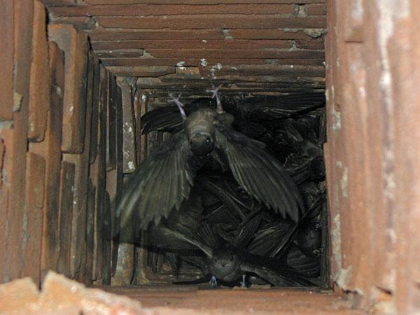 Chimney-Swifts-in-Chimney600