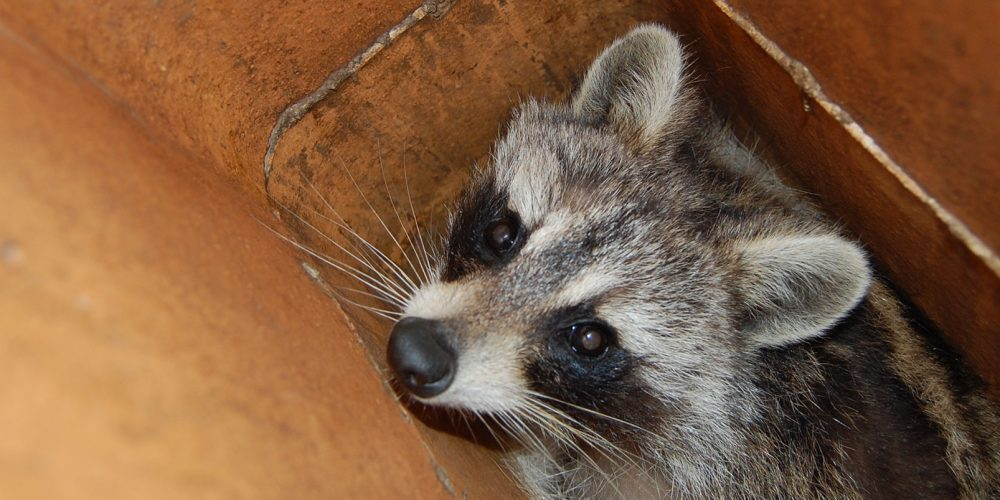 Raccoon being safely removed from chimney